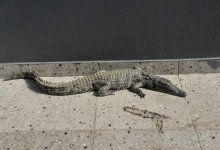 News24.com | PICS | Shock as crocodile is found in Pietermaritzburg complex