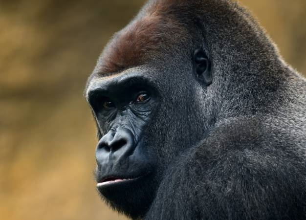 News24.com | Covid-19: Gorilla, two lions test positive for virus at Prague zoo