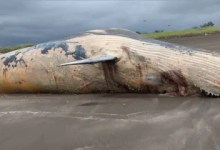 30,000 kg whale carcass washed ashore in Maharashtra's Palghar, locals click selfies