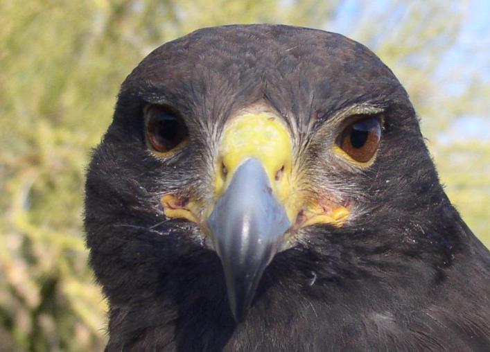 copy-of-hawk-front