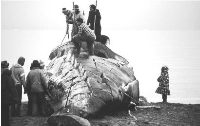 Inuit Whale Hunt