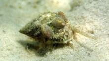 Tiny slipper shells (Crepidula fornicata) hitch a ride on an oyster drill (Urosalpnix cinerea)