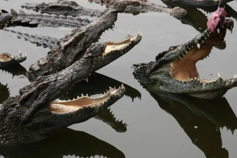 crocodiles la gueule ouverte