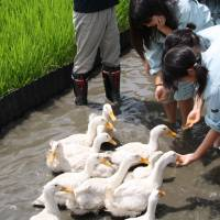 Hand reared: Saya High School students feed grain to some of their friendly flock of paddy-management fowl. | C.W. NICOL