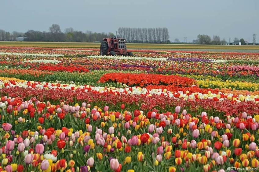 Doen in de Bollenstreek: Tulip Experience Amsterdam in Noordwijkerhout