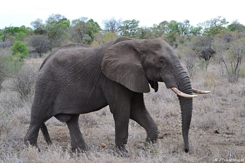 Een olifant in het Kruger National Park in Zuid-Afrika