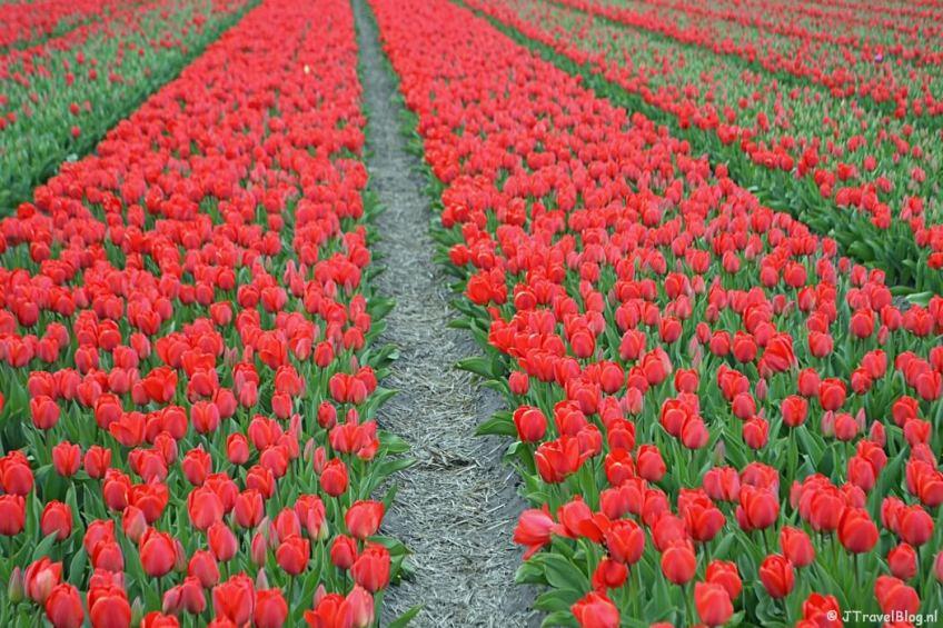 Rode tulpen in Halfweg tijdens de Bollenstreekwandeling rond De Zilk