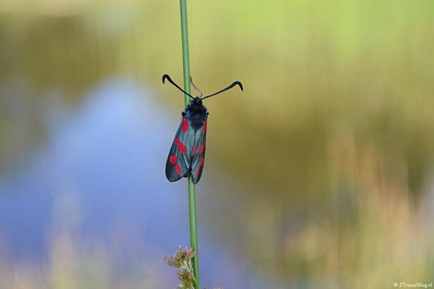 Een sint jansvlinder in de Amsterdamse Waterleidingduinen