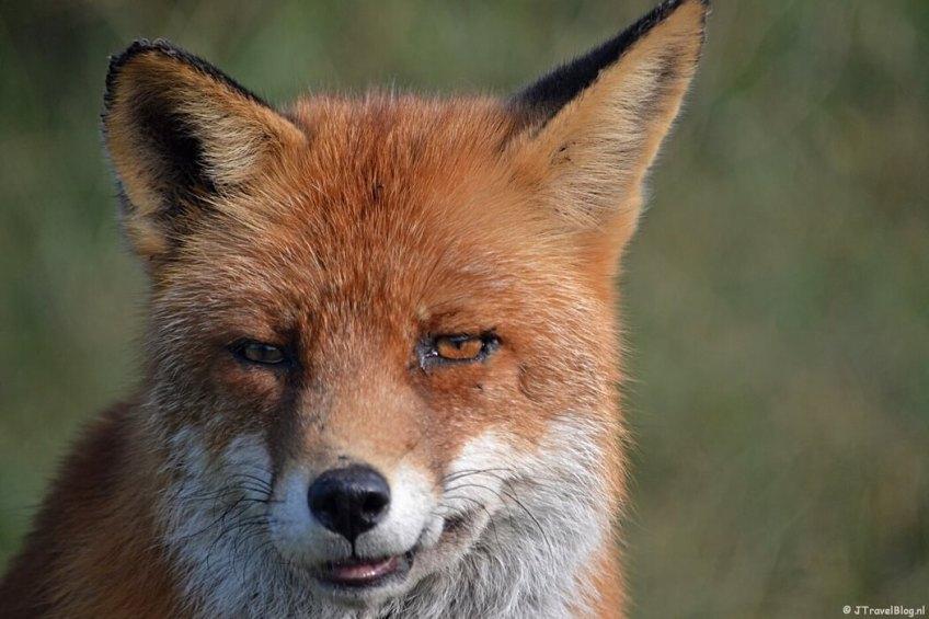 Een vos in de Amsterdamse Waterleidingduinen