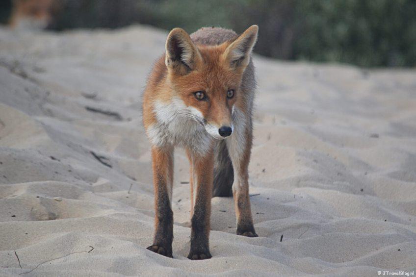 Een vossenwelp in de Amsterdamse Waterleidingduinen