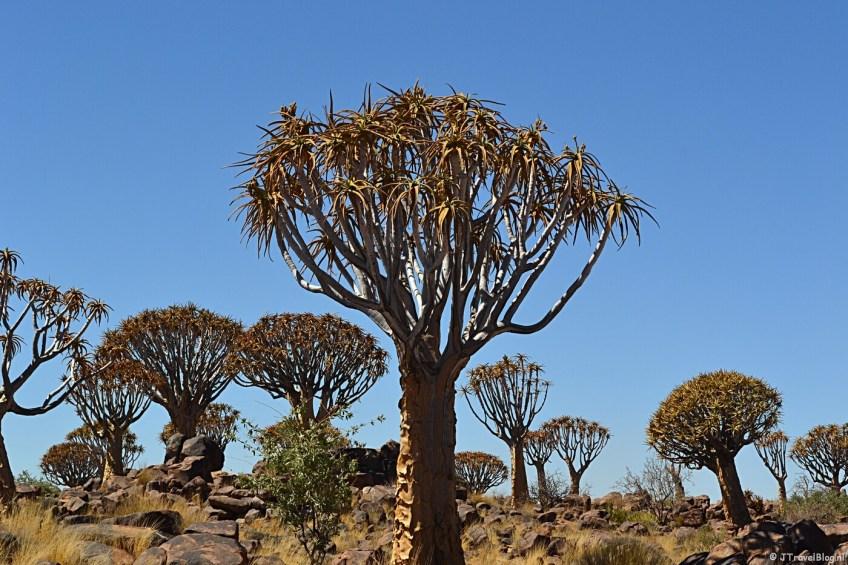 Bijzonder natuurfenomeen in Namibië: Kokerbomen