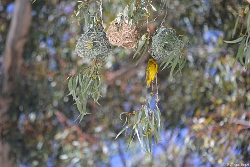 Een wevervogeltje in de tuin van Elandsberg Eco Reserve in Clanwilliam