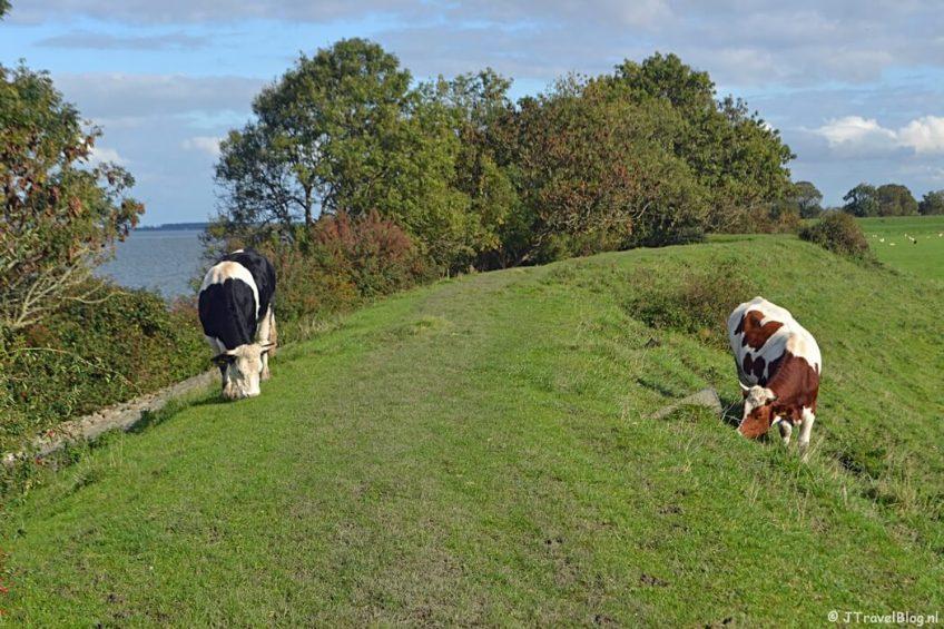Koeien op de dijk bij Muiden tijdens de 3e etappe van het Westerborkpad