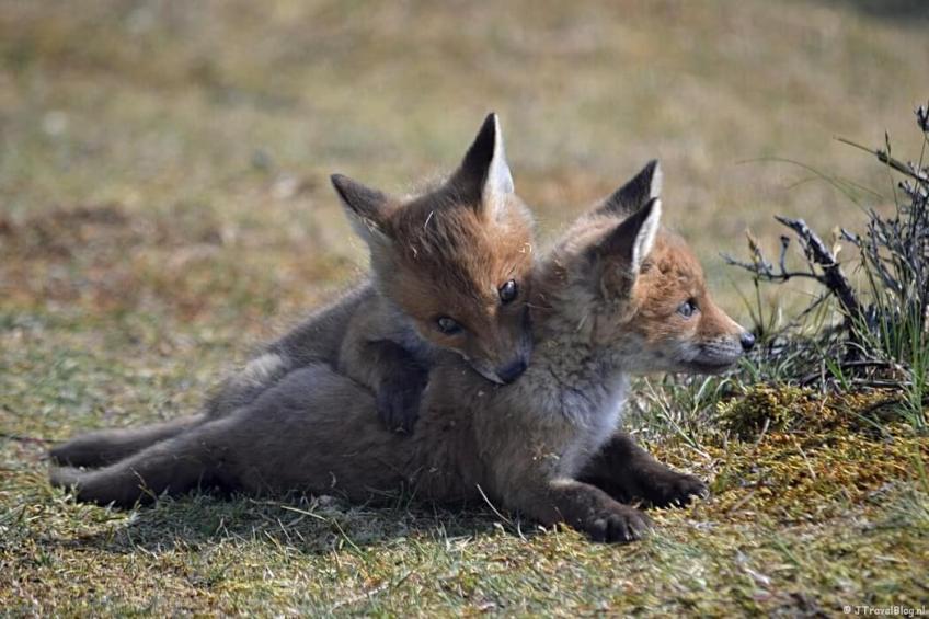 Twee vossenwelpen in de Amsterdamse Waterleidingduinen