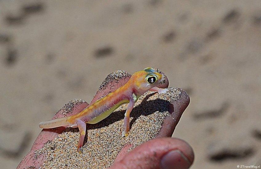 Een gekko tijdens de Living Desert Tour in de duinen bij Walvis Bay