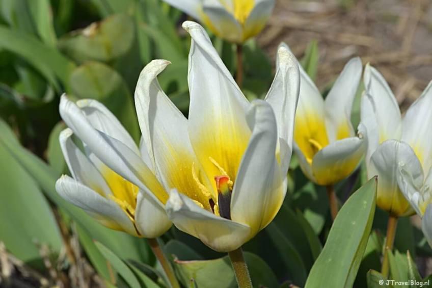 Wit-gele tulpen aan de Loosterweg-Noord