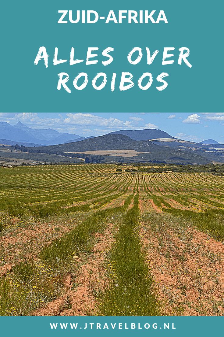 Alles wat je moet weten over rooibos, vertel ik je in deze blog. Wist je bijvoorbeeld dat rooibos alleen in de Cederbergen in Zuid-Afrika groeit? Meer weten, lees dan mee! #rooibos #cederbergen #zuidafrika #southafrica #jtravel #jtravelblog