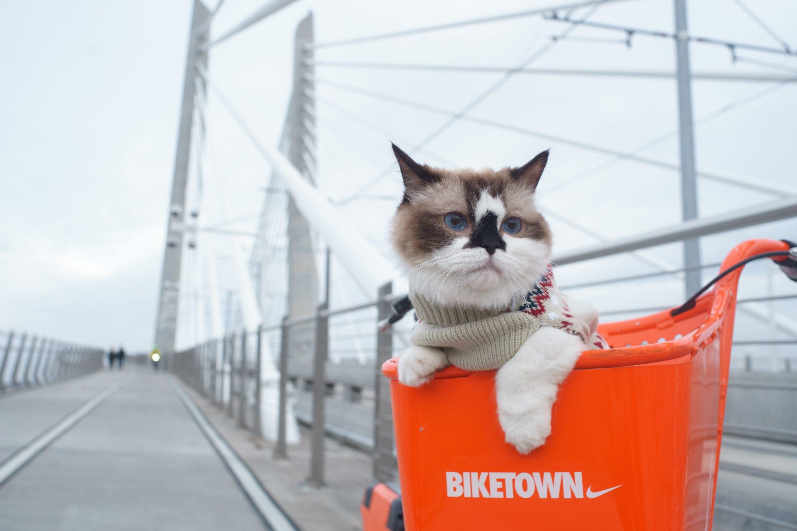 Portland Cat