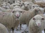 sheep2