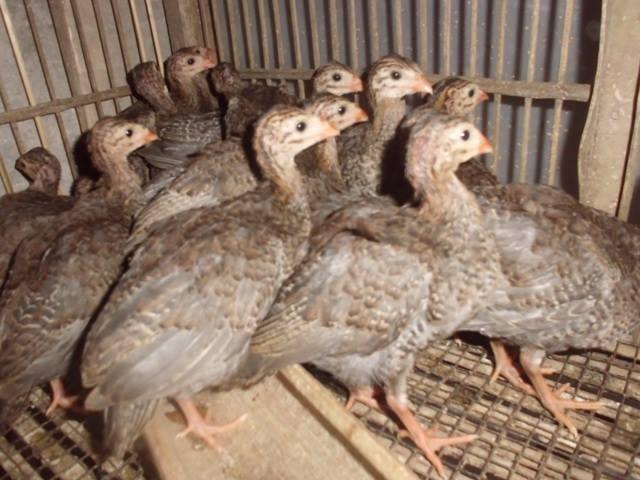 Ayam Mutiara 1 bln