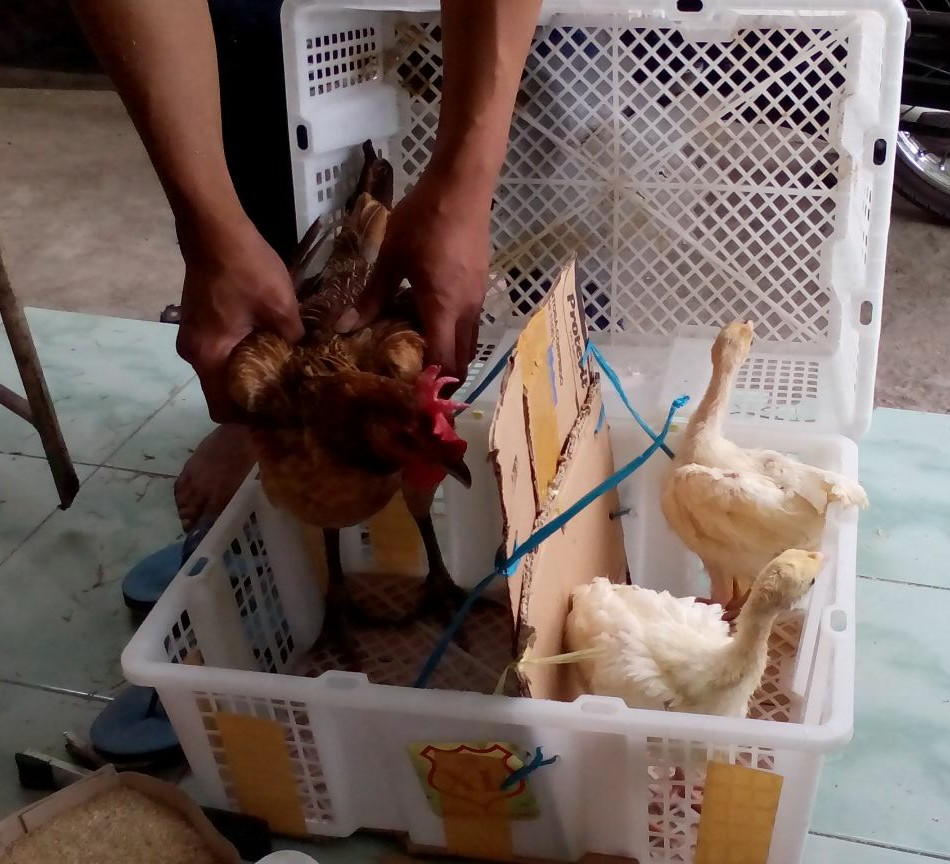 Betina Ayam Pelung di seting bersama sepasang Ayam Kalkun Putih Umur 1 bulan