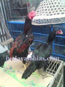 Ayam Bangkok Jantan dan Betina Umur 7 Bulan