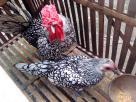 Kandang Ayam Batik Itali Indukan