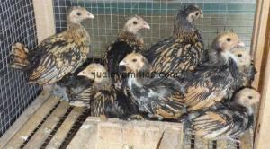 Ayam Batik Kanada 1 bulan a
