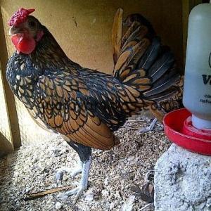 Ayam Batik Kanada Coklat Gold Indukan