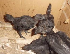 Ayam Cemani 1 bulan