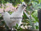 Gambar Ayam Kapas