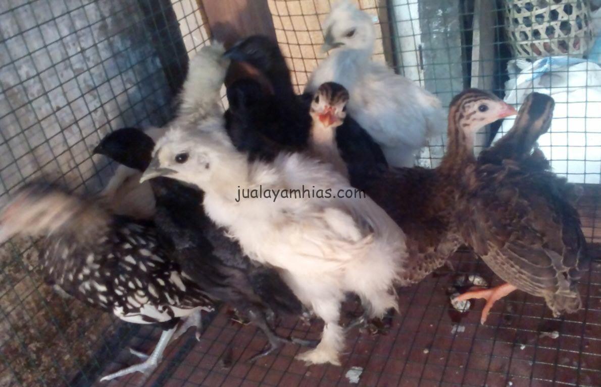 Beragam Jenis Ayam Hias Anakan