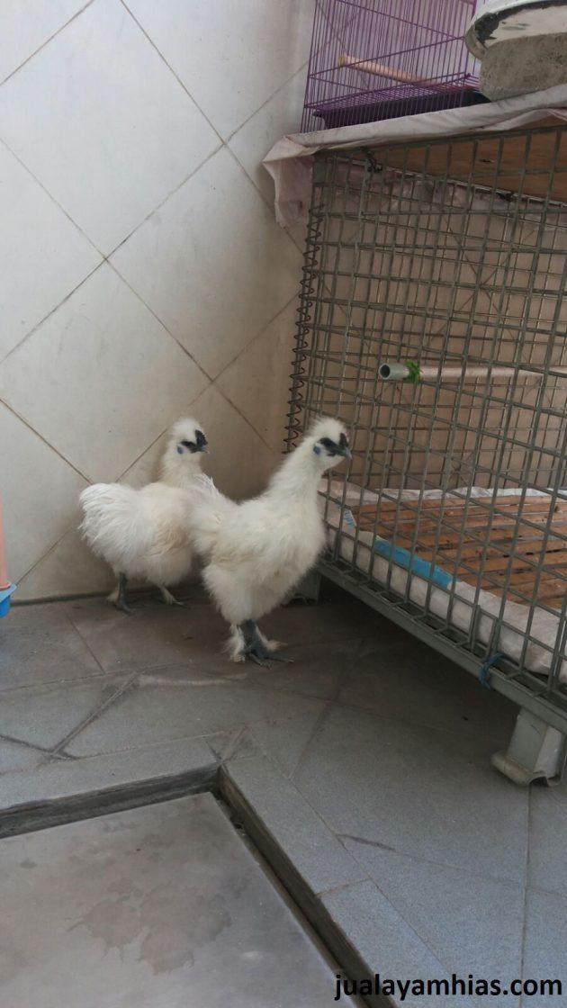 2. Ayam Kapas Dewasa 8 1 Pengiriman Ayam Pesanan Pak Andy di Banda Aceh Jual Ayam Hias HP : 08564 77 23 888 | BERKUALITAS DAN TERPERCAYA Pengiriman Ayam Pesanan Pak Andy di Banda Aceh Pengiriman Ayam Pesanan Pak Andy di Banda Aceh