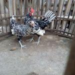 Ayam Batik Itali Umur 5 Bulan  Jual Ayam Hias HP : 08564 77 23 888 | BERKUALITAS DAN TERPERCAYA  Galeri Foto
