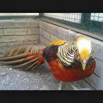 Ayam Golden Pheasent Dewasa 5  Jual Ayam Hias HP : 08564 77 23 888 | BERKUALITAS DAN TERPERCAYA  Galeri Foto