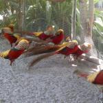 Ayam Golden Pheasent Dewasa 6  Jual Ayam Hias HP : 08564 77 23 888 | BERKUALITAS DAN TERPERCAYA  Galeri Foto