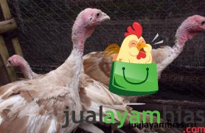 Ayam Kalkun Bourbon Red Umur 5 Bulan Pengiriman Ayam Pesanan Pak Yubi di Pati Jawa Tengah Jual Ayam Hias HP : 08564 77 23 888 | BERKUALITAS DAN TERPERCAYA Pengiriman Ayam Pesanan Pak Yubi di Pati Jawa Tengah Pengiriman Ayam Pesanan Pak Yubi di Pati Jawa Tengah
