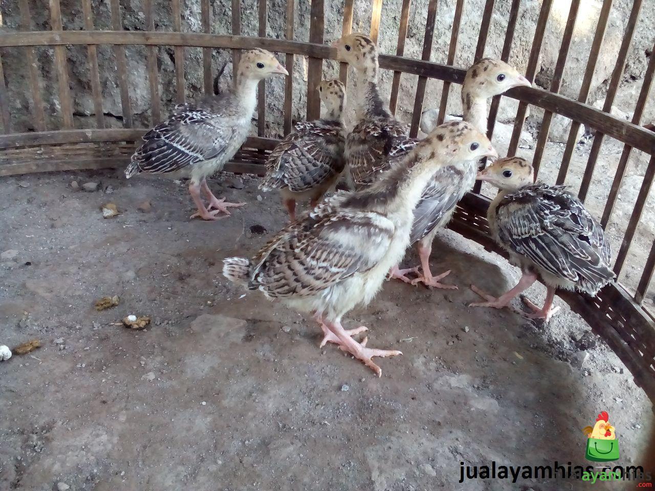 Ayam Kalkun Bronze Umur 1 Bulan 2 Cara Mudah Membuat Tempat Mengeram untuk Ayam Kalkun Jual Ayam Hias HP : 08564 77 23 888 | BERKUALITAS DAN TERPERCAYA Cara Mudah Membuat Tempat Mengeram untuk Ayam Kalkun Cara Mudah Membuat Tempat Mengeram untuk Ayam Kalkun