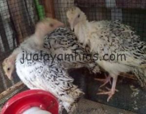 Ayam Kalkun Golden Palm Betina Usia 2 Bulan