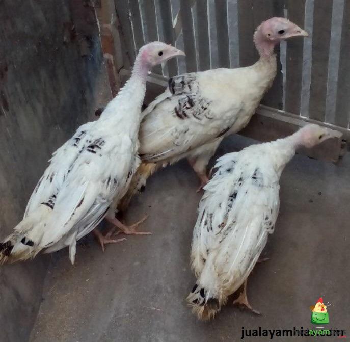 Ayam Kalkun Royal Palm Umur 3 Bulan