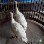 Ayam Kalkun Royal Palm Umur 4 Bulan