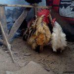 Ayam Kate Walik Dewasa 6  Jual Ayam Hias HP : 08564 77 23 888 | BERKUALITAS DAN TERPERCAYA  Galeri Foto