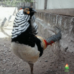 Ayam Lady Amhers Pheasent Dewasa Jantan  Jual Ayam Hias HP : 08564 77 23 888 | BERKUALITAS DAN TERPERCAYA  Galeri Foto