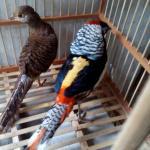 Ayam Lady Amhers Pheasent Dewasa Sepasang  Jual Ayam Hias HP : 08564 77 23 888 | BERKUALITAS DAN TERPERCAYA  Galeri Foto