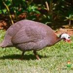 Ayam Mutiara Dewasa 4 1  Jual Ayam Hias HP : 08564 77 23 888 | BERKUALITAS DAN TERPERCAYA  Galeri Foto