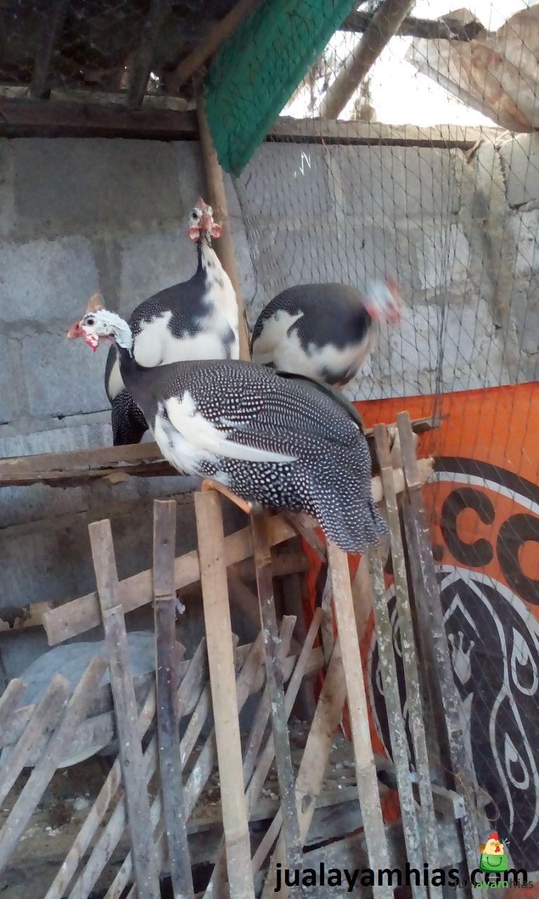 Ayam Mutiara Plangkok/Putih Image