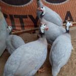 Ayam Mutiara Silver Dewasa