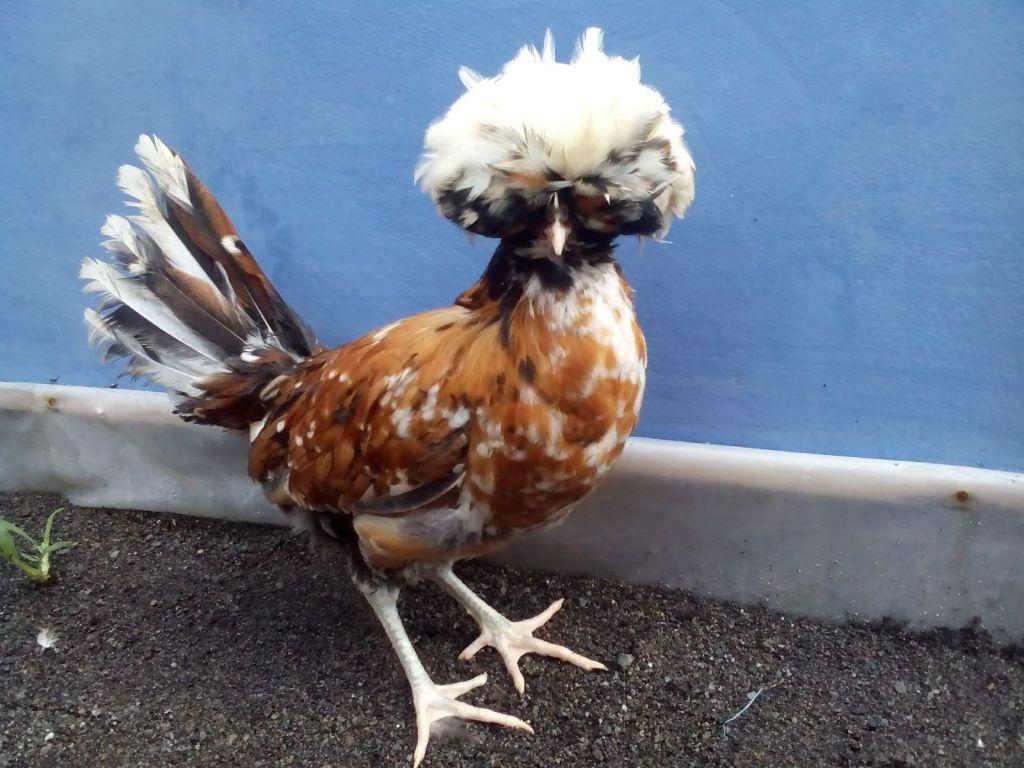Ayam Poland Umur 4 Bulan