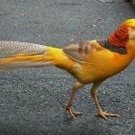Ayam Yellow Pheasent Dewasa 2  Jual Ayam Hias HP : 08564 77 23 888 | BERKUALITAS DAN TERPERCAYA  Galeri Foto