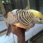 Ayam Yellow Pheasent  Jual Ayam Hias HP : 08564 77 23 888 | BERKUALITAS DAN TERPERCAYA  Galeri Foto